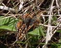 Marsh Fritillary in Ennerdale (1 of 4)