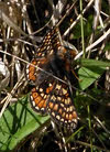 Marsh Fritillary in Ennerdale (4 of 4)