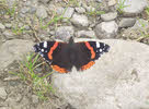Red Admiral in Lakes (1 of 3)