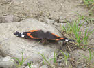 Red Admiral in Lakes (2 of 3)