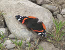 Red Admiral in Lakes (3 of 3)