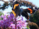 Red Admiral, Staffordshire (1 of 4)