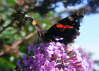 Red Admiral, Staffordshire (3 of 4)