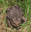 Front view of Common Toad