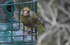 Female Greenfinch (1 of 2)