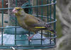 Female Greenfinch (2 of 2)