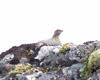 Female Ptarmigan on Ben Wyvis (1 of 3)