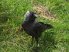 Jackdaw on Ground (2 of 2)