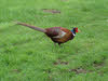 Male Pheasant seen from side
