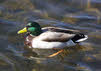 Male Mallard on the Water