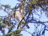 Male Sparrowhawk in Tree (2 of 2)